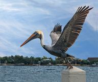Pelican preparing to fly Royalty Free Stock Photography