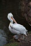 Pelican prinking Stock Image