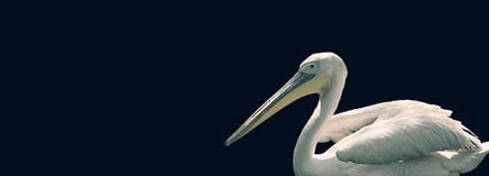 Pelican profile portrait on a dark green background royalty free stock image