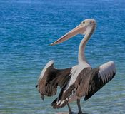 Pelican in profile. A pelican stands with wings semi-extended Royalty Free Stock Photography