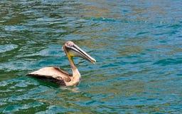 Pelican in Puerto Lopez, Ecuador Royalty Free Stock Image