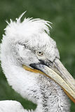 Pelican punk Royalty Free Stock Images