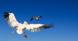 Pelican pursues a seagull. Bird animal fight in the air. Royalty Free Stock Photography