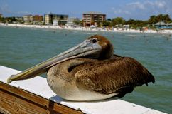 Pelican on a railing with the Fort Myers Beach in the background Stock Image
