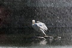 Pelican in rain Stock Images