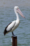 Pelican at Rainbow Beach ,Australia Royalty Free Stock Photos