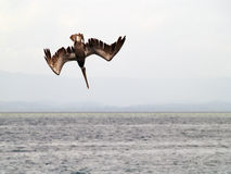 Pelican ready to dive. San blas royalty free stock photo