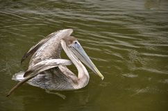Pelican ready to fly Royalty Free Stock Photos