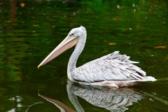 Pelican reflecting in water. Stock Images