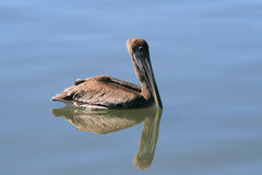 Pelican with Reflection Stock Photography