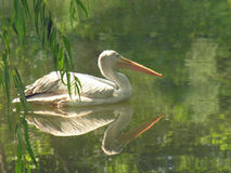 Pelican Reflection Stock Photography