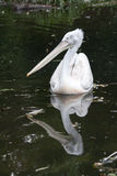 Pelican Reflection Stock Photo