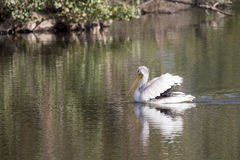 Pelican and Reflection. Pelican swimming in lake with reflection Stock Images