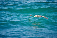 Pelican with reflection on turquoise waters of sea of cortez. Pelican flying across the blue waters of the sea of cortez in san jose del cabo mexico Stock Photography