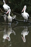 Pelican Reflections Stock Images