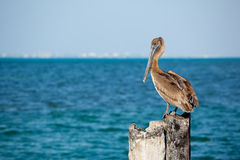 Pelican bird by sea Royalty Free Stock Photos