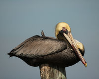 Pelican at rest Royalty Free Stock Images