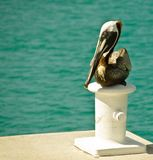 Pelican resting Stock Images