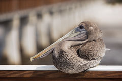 The Pelican Royalty Free Stock Photography
