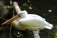 A pelican royalty free stock image