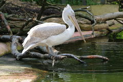 Pelican resting on a branch Stock Photography