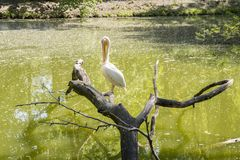 A pelican resting on a dry tree. Pelicans are a genus of large water birds that make up the family Pelecanidae. They are characterised by a long beak and a large royalty free stock image
