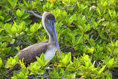 Pelican resting on Galapagos Royalty Free Stock Image