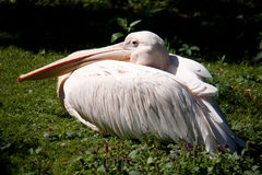 Pelican resting on the grass. Shooting at the Zoo Stock Images