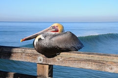 Pelican resting at the pier. Stock Photos