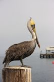 Pelican resting on a pole. By the water Royalty Free Stock Image