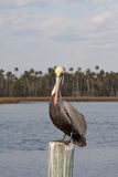 Pelican Resting On A Post Stock Photos