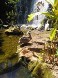 pelican resting on the rocks royalty free stock image