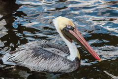 Pelican Resting on the Water Stock Photos