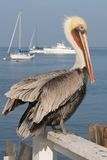 A pelican rests on a fence by the sea. A pelican rests on a fence by the sea facing right Royalty Free Stock Photography