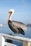 A pelican rests on a fence by the sea. Royalty Free Stock Images