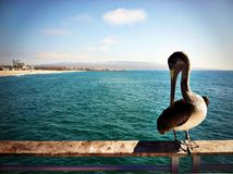 Pelican rests on the railing of a pier in Hermosa Beach, California royalty free stock photo