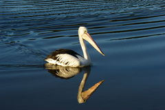 Pelican and Ripples Royalty Free Stock Images