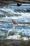 Pelican in the river. Pelican enjoying the river and waiting for a meal to come by Stock Photos
