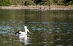 Pelican on the river. A single pelican swimming on the surface of river Royalty Free Stock Photography