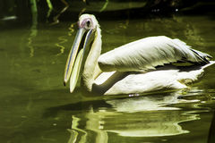 Pelican of the River Stock Photography