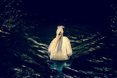 Pelican on a river Royalty Free Stock Image