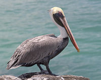 Pelican on the rock 2 Stock Images