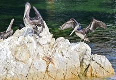 Pelican rock. Pelicans on a rock in the harbor with their wings spread out to warm and dry royalty free stock photos