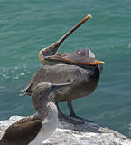 Pelican on the rock 3 Royalty Free Stock Photography