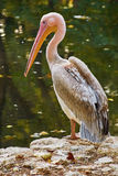Pelican on the Rock Royalty Free Stock Image