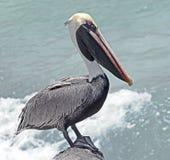 Pelican on the rock 4 Stock Photos