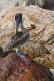 Pelican on rocks Royalty Free Stock Images