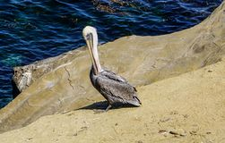 A Pelican on the rocks beside the ocean stock image