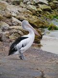 Pelican on a rocky beach Stock Photos
