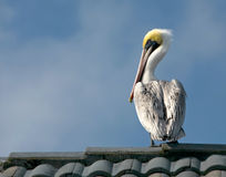 Pelican on roof. A view of a large pelican, perched on the top of a tile roof Stock Photos
